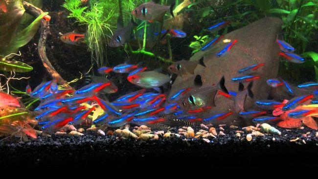 Неони з іншими рибками.