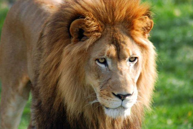 Panthera leo (леви)