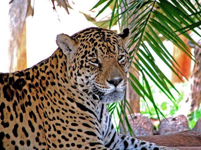 Panthera pardus (леопарди)