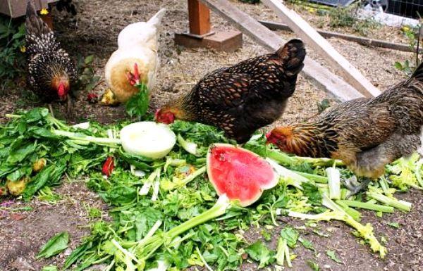 Кури клюють зелений корм