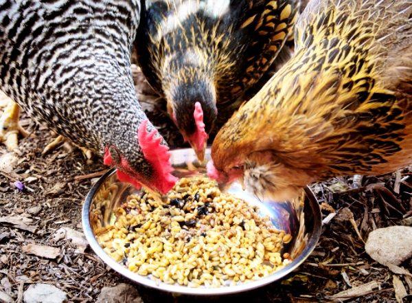 Суміш зерна для годування курей