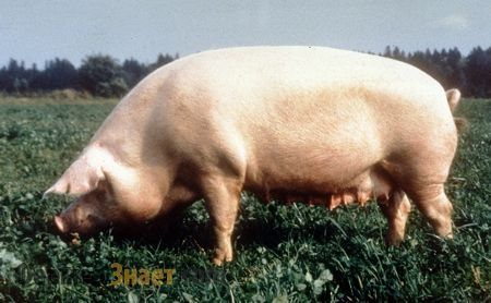 Брейтовская свиня