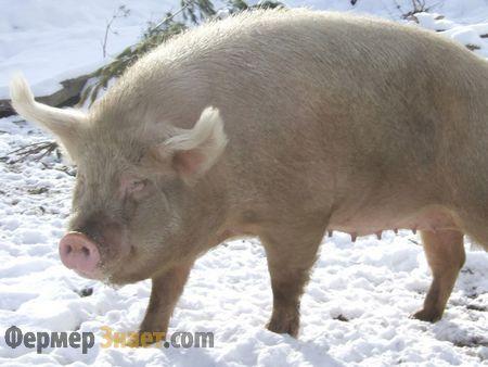 Сибірська північна свиня