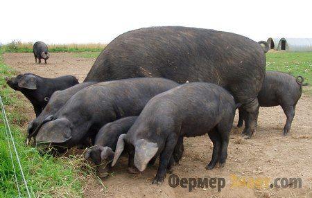 Велика чорна порода свиней