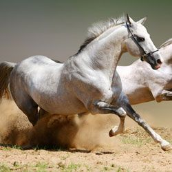 Яку швидкість може розвивати кінь? Рекорди і рекордсмени