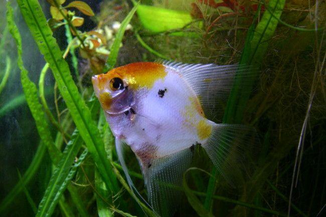 Koi angelfish.
