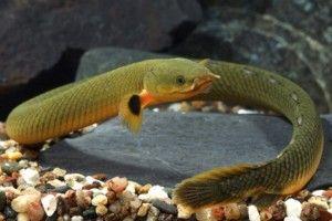 Каламоїхт калабарський: зміст в акваріумі