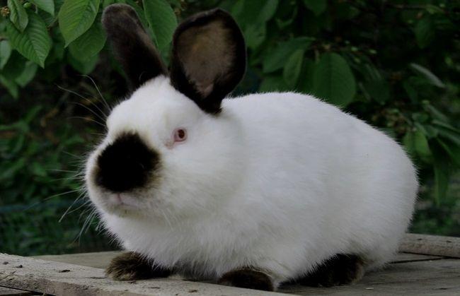 Каліфорнійська порода кроликів