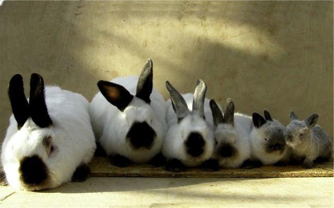 Кролики каліфорнійської породи