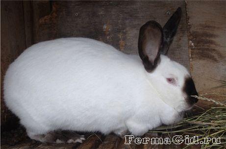 Каліфорнійські кролики: основи змісту і розведення породи