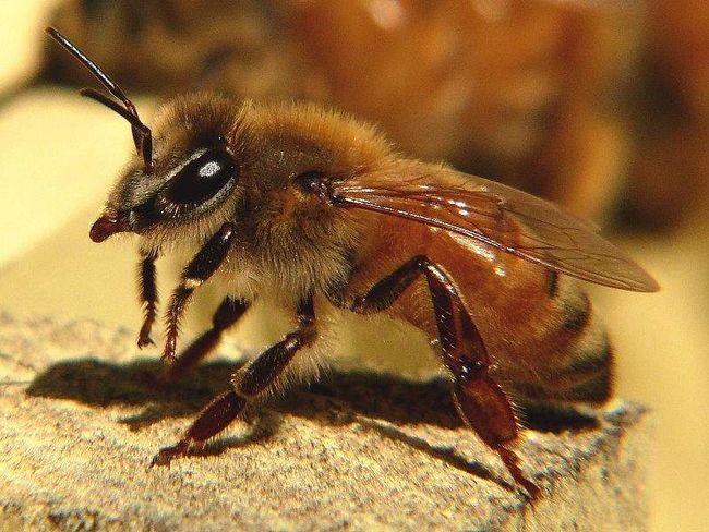 Бджоли-вбивці просуваються по Каліфорнії.