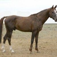 Калмицька кінь
