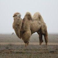 Коломацький двогорбий верблюд