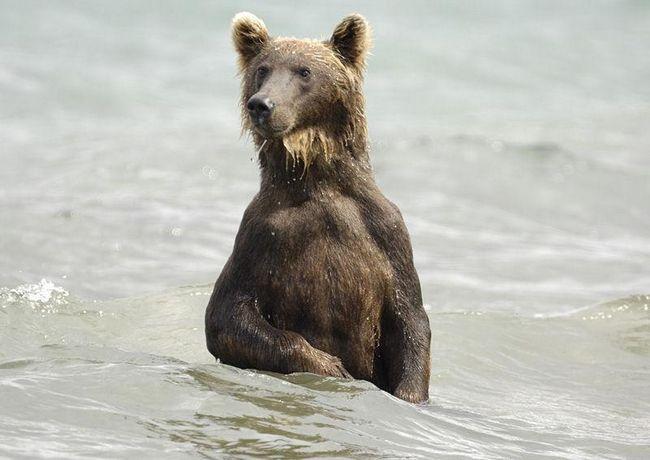 Камчатський ведмідь