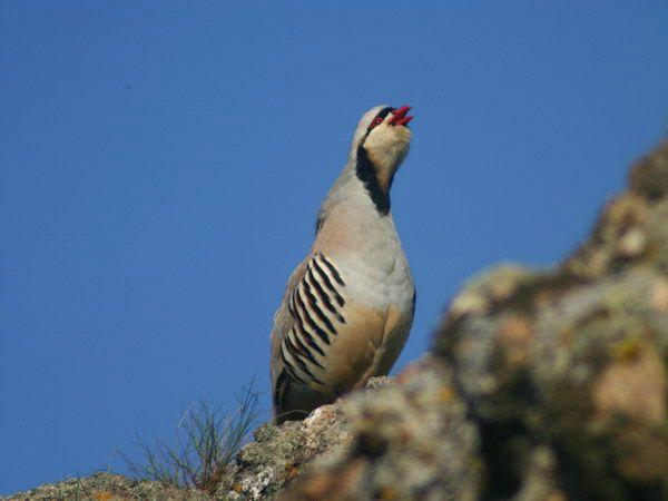 Кам`яна куріпка або кеклик: опис пташки