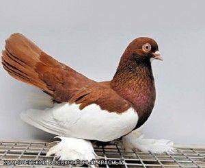 Камишинський голуби