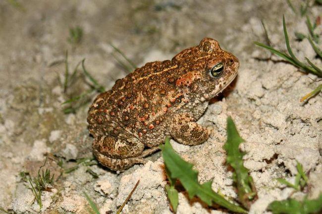 Ці жаби проявляють активність в нічний час, а вдень вони ховаються під камінням, в піску і норах.