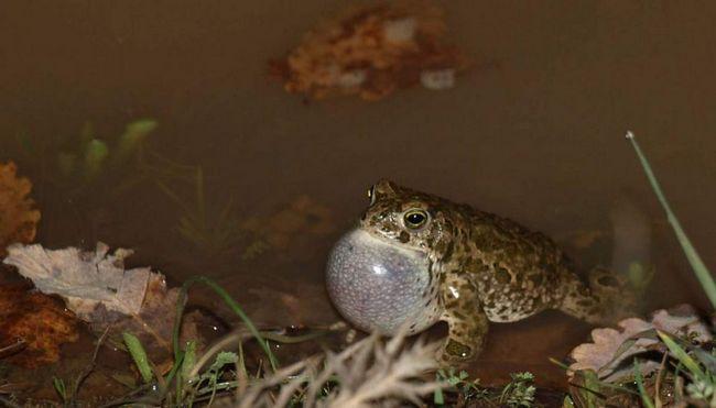Масове ікрометання у очеретяних жаб відбувається в травні-червні. Днем особини зазвичай ховаються під водою на дні водойми.