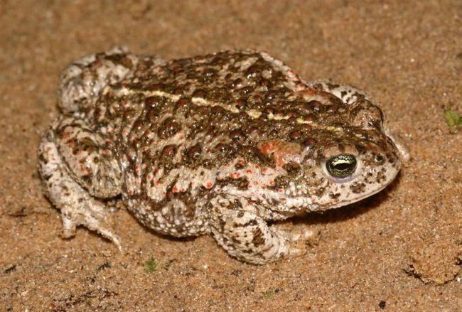 Статева зрілість очеретяною жаби настає у віці трьох-чотирьох років, а тривалість життя 15-16 років.