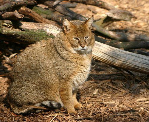 очеретяний кіт очеретяний кіт фото Jungle Cat Felis chaus