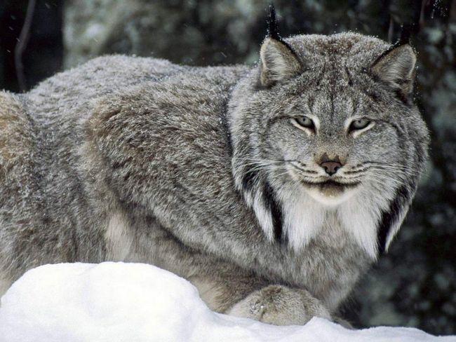 Канадська рись (Lynx canadensis).