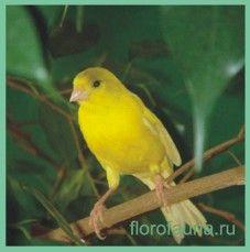 Канарейка- птах, яка співає ..