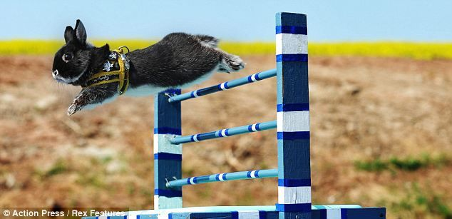 Kaninhop - новий вид спорту для кроликів