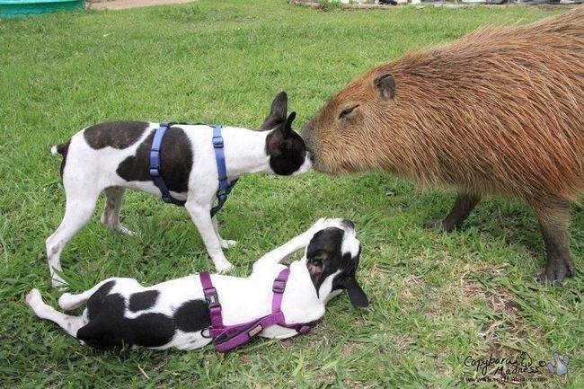 Капибара Каплін Рус (Capybara Caplin Rous) - водосвинка, найбільший у світі гризун