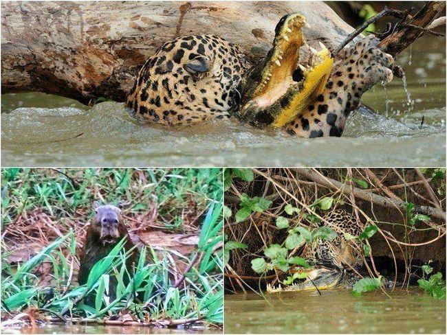 Поєдинок ягуара і каймана був нетривалим і кривавим.