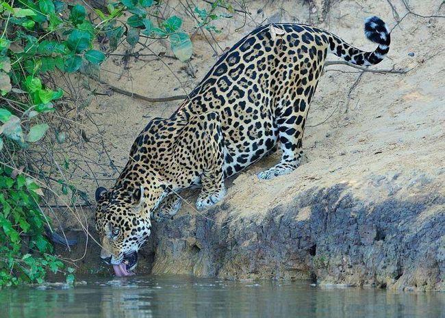 Спочатку все виглядало так, ніби-то ягуар хотів просто напитися води.