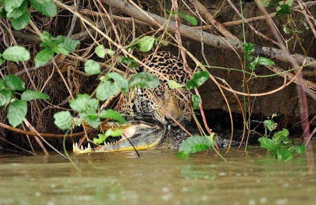 Індіанці не спроста називають ягуара «вбиває одним ударом» - укус цієї тварини один з найбільш сильних в світі ссавців.