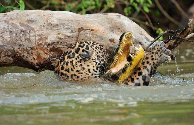 Вид ягуара, прокушував голову Кайманові, вражає навіть без урахування невеликих розмірів останнього.