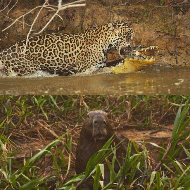 Коли ягуар тягнув свою здобич на берег, капибара, напевно думала, що їй дуже пощастило, бути всього лише свідком.