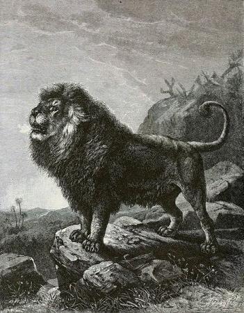 капский лев фото