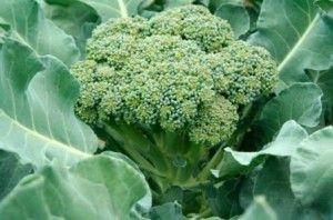 Капуста брокколі - вирощування, догляд, збір врожаю