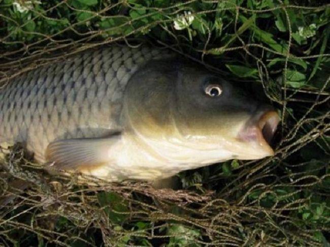 Уже на першому році життя карасекарпи досягають ваги в півкілограма, за що добре цінуються в рибальському господарстві.