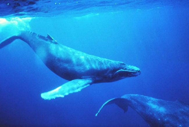 Карликовий кит (Caperea marginata).