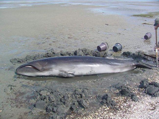 Спійманий карликовий кит.