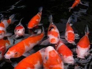 Карп кои зміст в акваріумі
