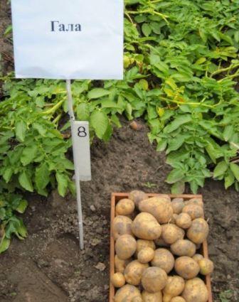 фото картоплі гала