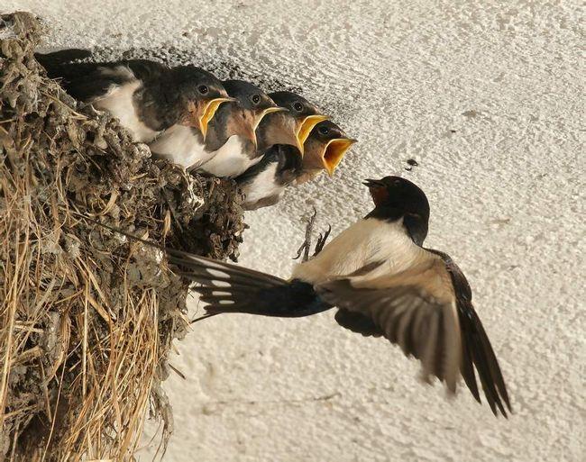 Обоє батьків беруть участь у будівництві гнізда, насиживании яєць і годівлі пташенят.