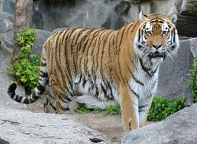 Каспійський тигр - грізний хижак, який загинув у сутичці з людьми