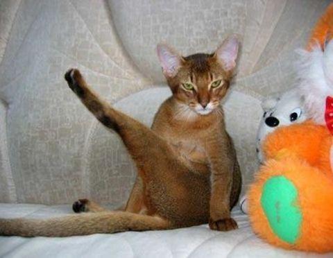 Кастрація дорослого кота - коли можна й чи потрібно? Догляд після операції і поведінку