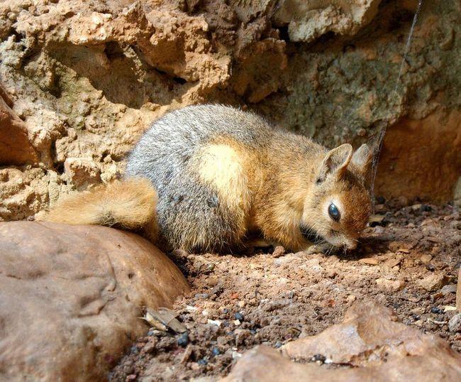 Кавказька білка (Sciurus anomalus).