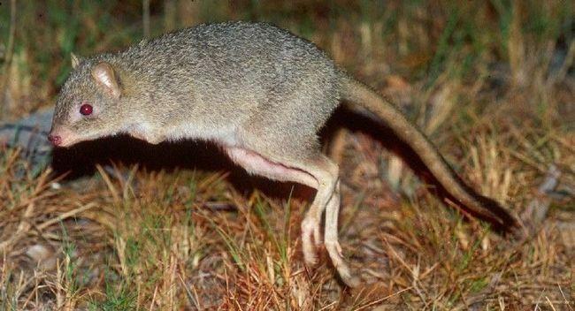 Поторові, поторій (лат. Potoroidae)