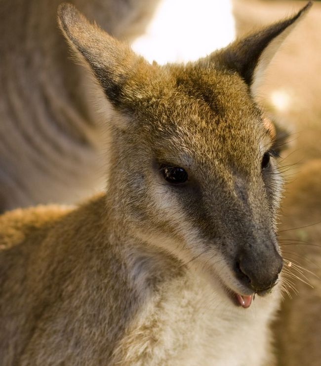 Лисеня і кабан допомогли трьом кенгуру втекти із зоопарку