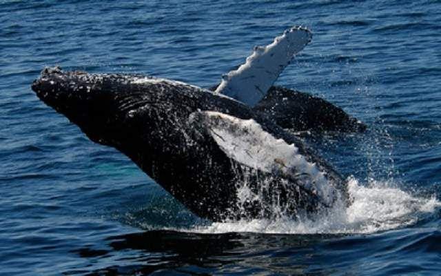 Японський гладкий кит (Eubalaena japonica).