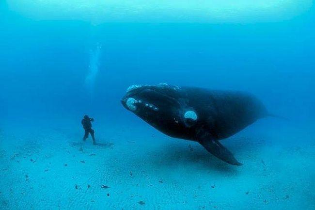 Є 2 популяції гладких японських китів: тихоокеанська і Охотська.