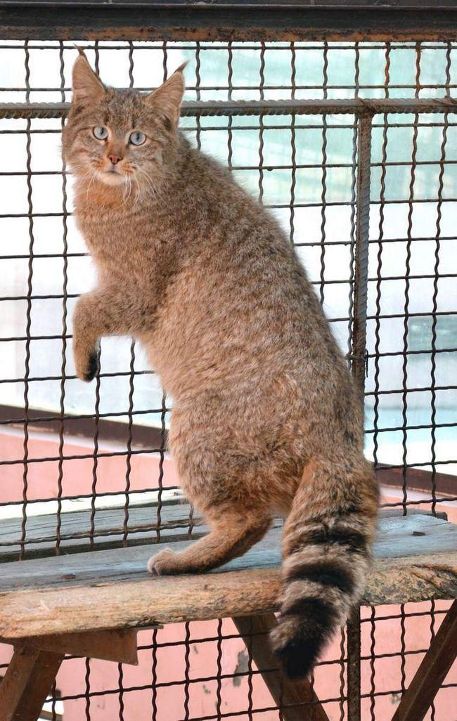 Китайська кішка (Felis bieti).