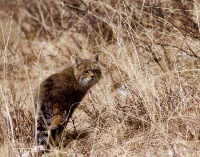 Гобійського сіра кішка мешкає в степах і гірських місцях.